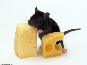 5657_Mouse_eating_cheese1024_768