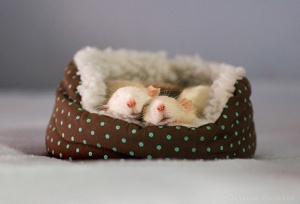 Sleep-Mice-l