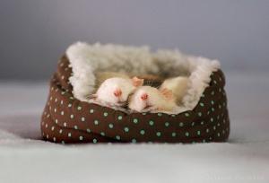 Sleep-Mice-l